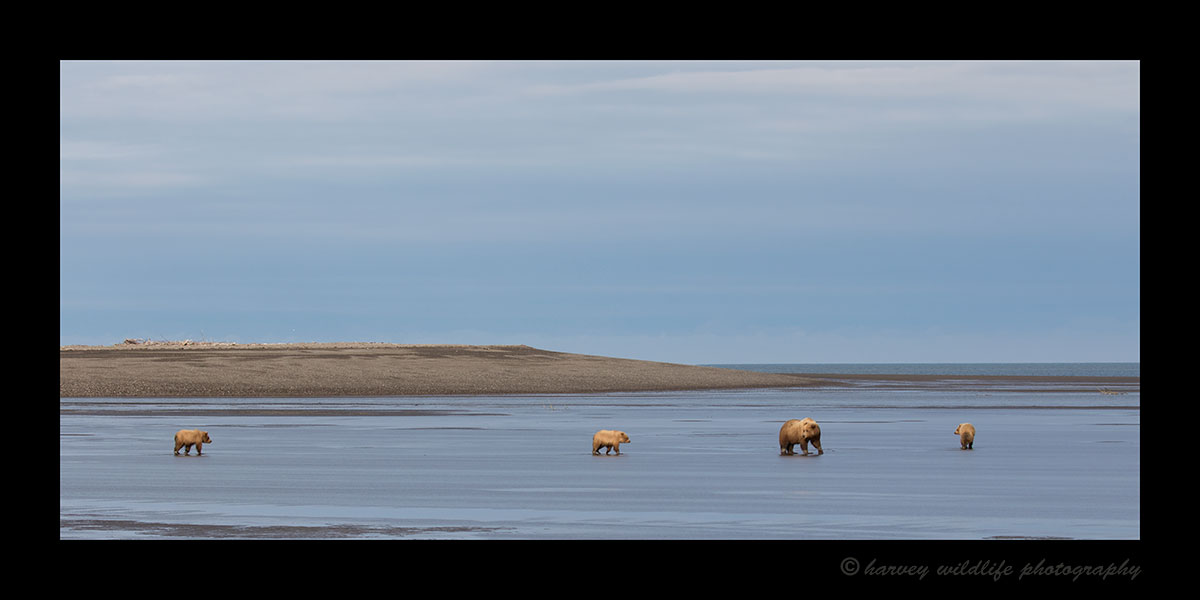 Brown Bear Family Walk