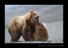 Brown-Bear-Fight