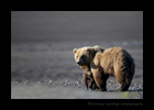 Brown Bear Mom and Cub Cuddle