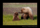 Brown Bear and Spring Cub