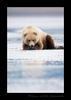 Brown Bear Portrait Low Tide