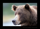 Brown Bear Portrait, Katmai, Alaska