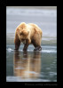 Brown-Bear-Reflection