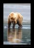 Brown-Bear-Reflection