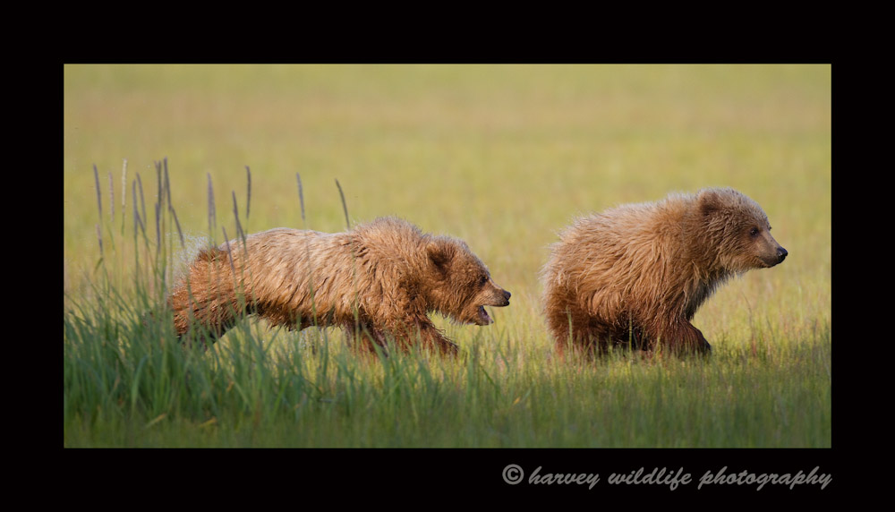 Brown bear cubs playing just like dogs.