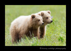Brown Bear Twins II