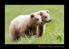 Brown Bear Twins II