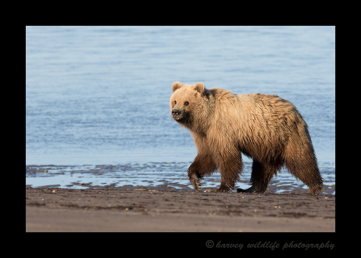 Brown Bear Walking the Beach