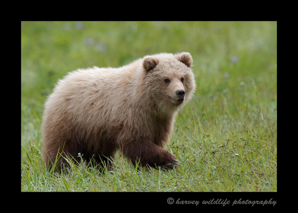 Brown Bear Yearling
