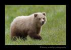 Brown Bear Yearling