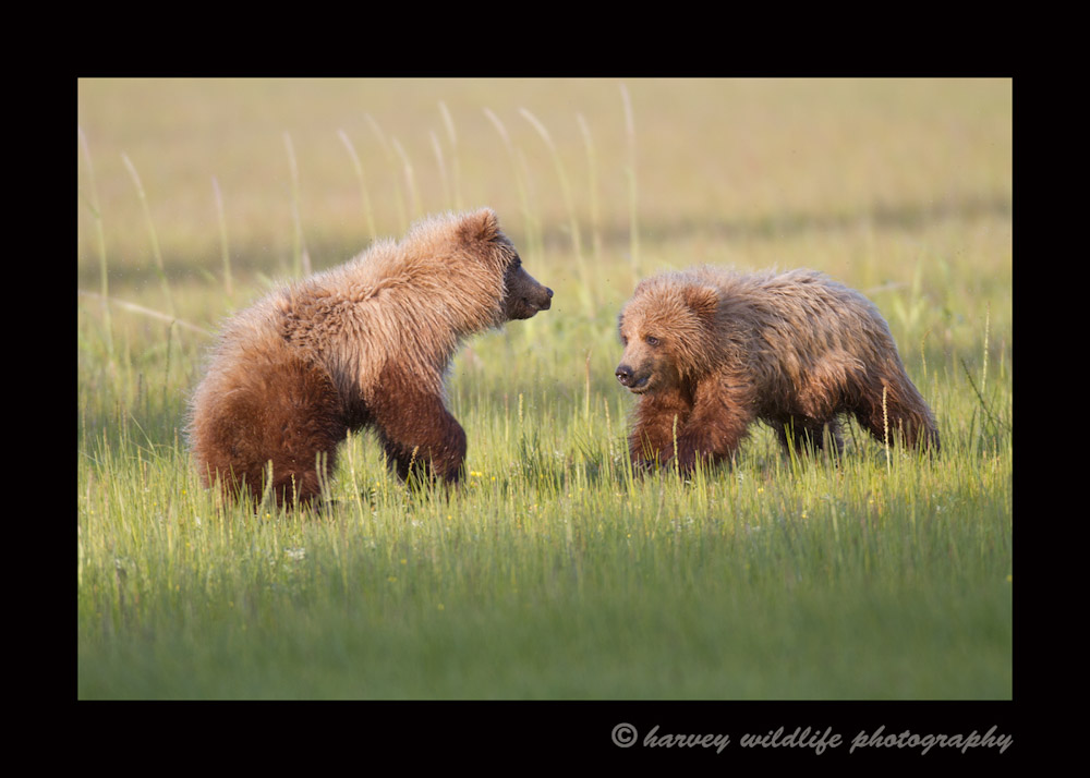 It is interesting how similar animals are. These two brown bear cubs were running around, chasing after one another just like dogs play.