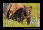 Brown Bear Mom and Cub II