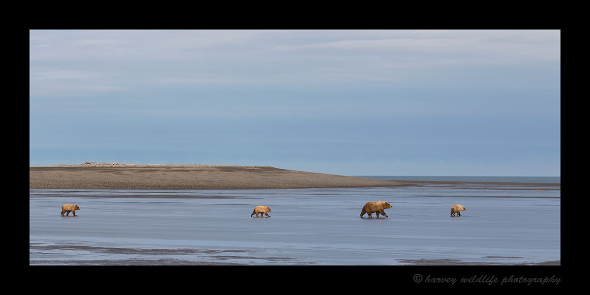 Brown Bear Family at Low Tide