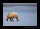 Brown Bear on Ocean Flats