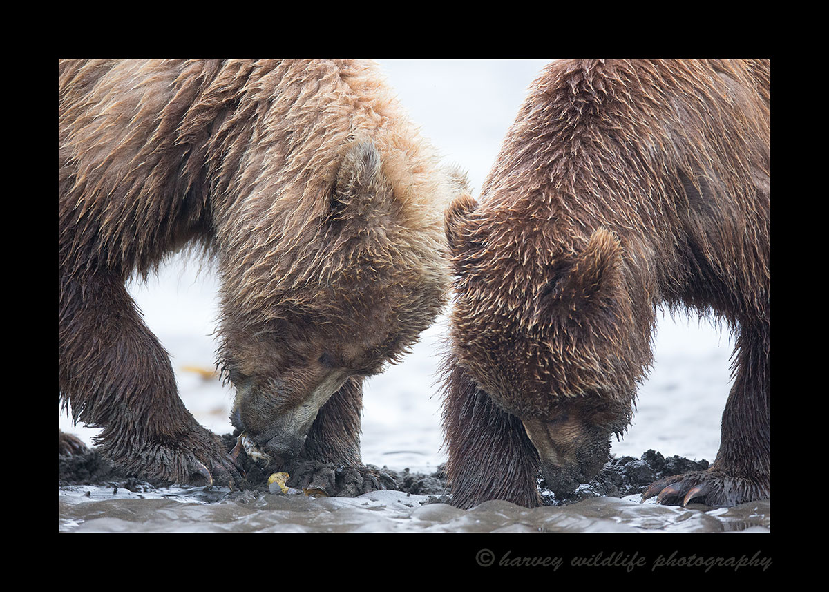 Brown Bear Clamming Session