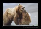 Brown-Bears-F8ing