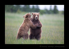Brown Bears Sparring