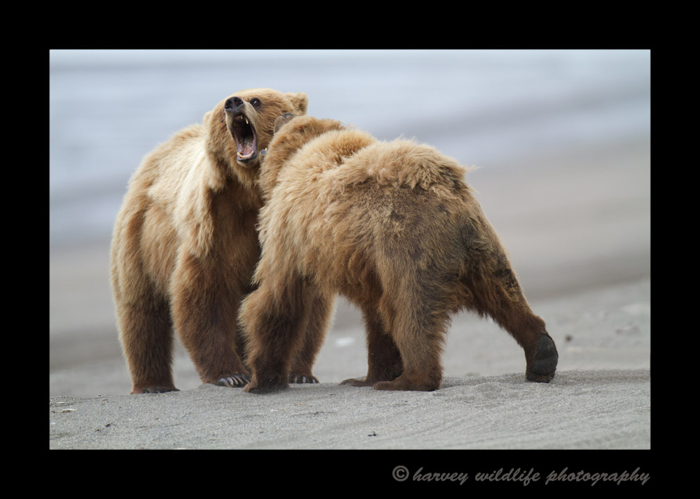 These big male brown bears were figthing on the beach, so we made sure to keep our distance.