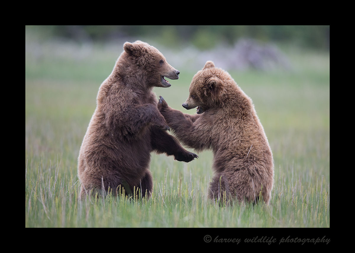 Brown Bear Juveniles Sparring