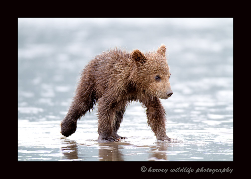 This brown bear cub is clamming on the ocean at low tide with his mother and siblings.