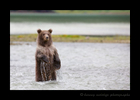Brown-bear-cub-standing-viewing