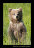 Brown-bear-cub-standing