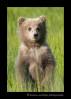 Brown-bear-cub-standing