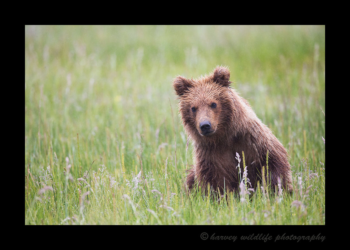 Brown Bear Cub in grass