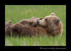 Brown-bears-nursing