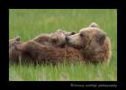 Brown-bears-nursing