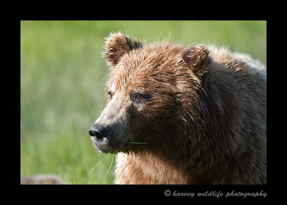 Brown_Bear_Portrait