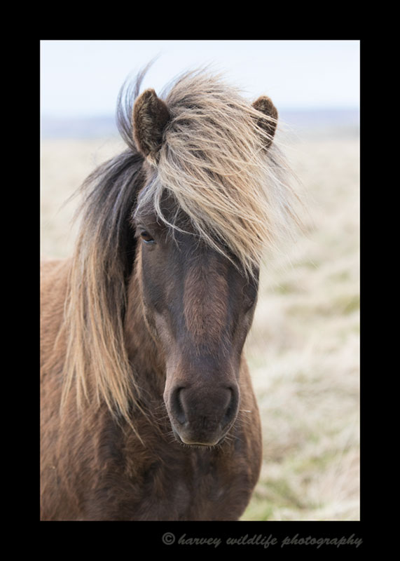 Picture of a brown horse in Iceland.