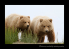 Brown_bear_twins_Alaska