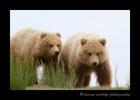 Brown_bear_twins_Alaska