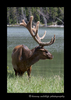 Bull_Elk_Jasper_National_Park