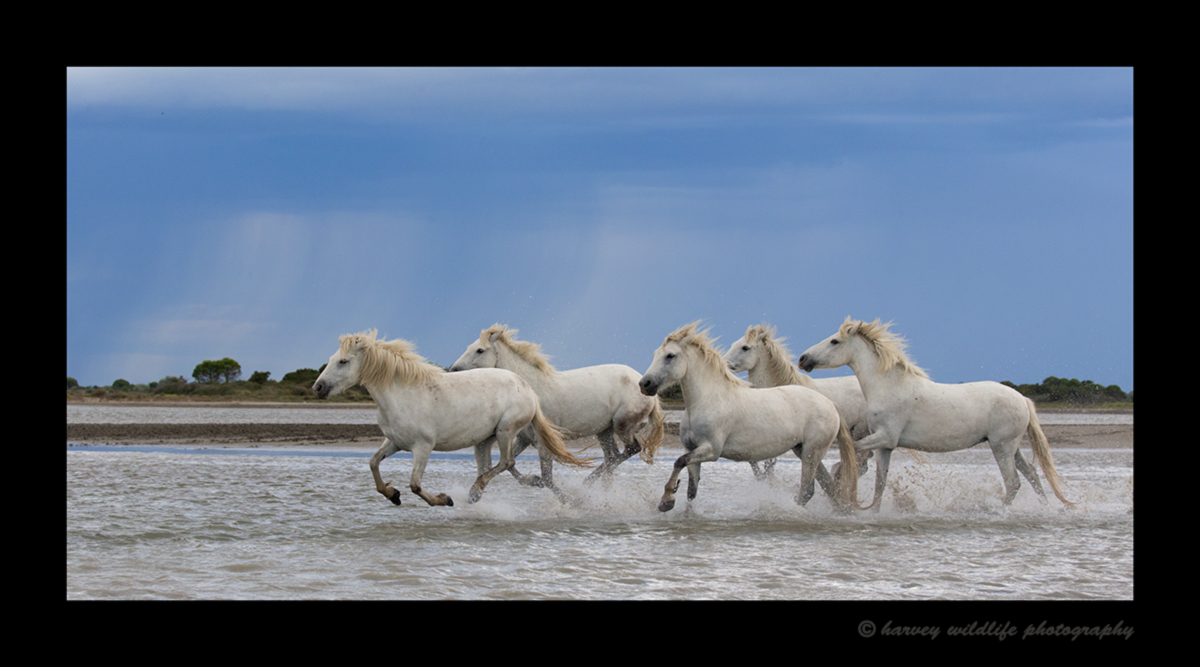 Picture of a Camargue horse herd running through a lake in Southern France.