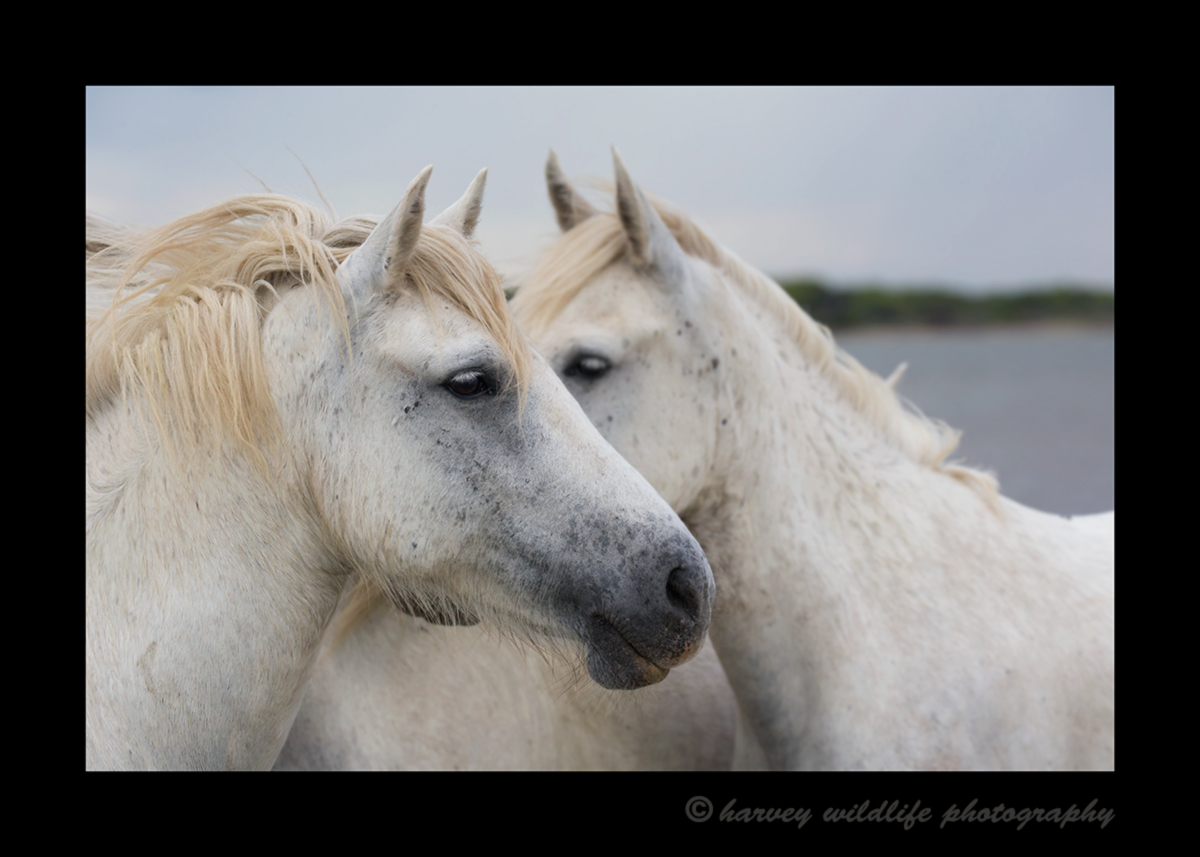 Picture of a Camargue horse portrait. Photo taken in Southern France by Harvey Wildlife Photography.