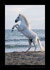 Camargue Horse Rearing Up 2016