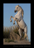 Picture of a camargue horse rearing up on sand dunes near the Mediterranean sea in southern France.