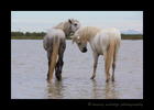Picture of Camargue horses grooming one another in a marsh in Southern France.