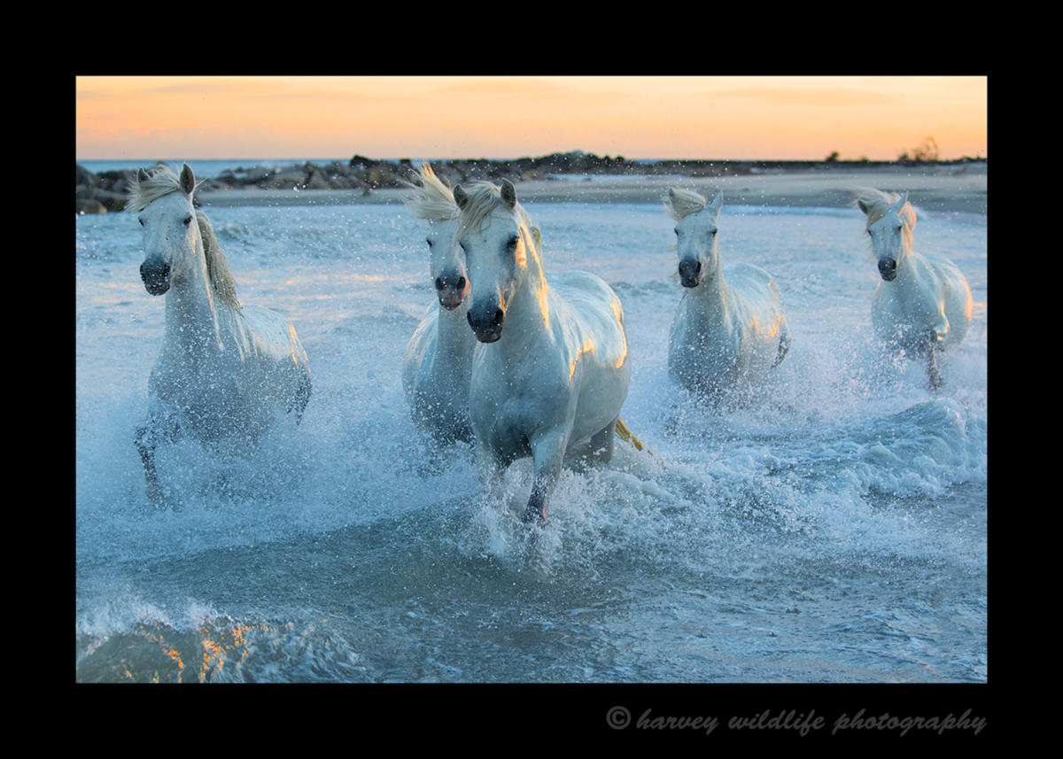 Picture of camargue horses running in the Mediterranean sea with an orange sky in the background.