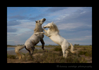 Picture of Camargue horses sparring in Saintes Maries de la Mer, Southern France. Photo by Greg of Harvey Wildlife Photography.