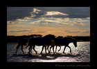 Picture of Camargue horses walking through a lake at Dusk. Image taken in Southern France.