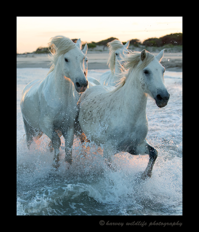 Picture of four camargue horses running through the sea in the Mediterranean.