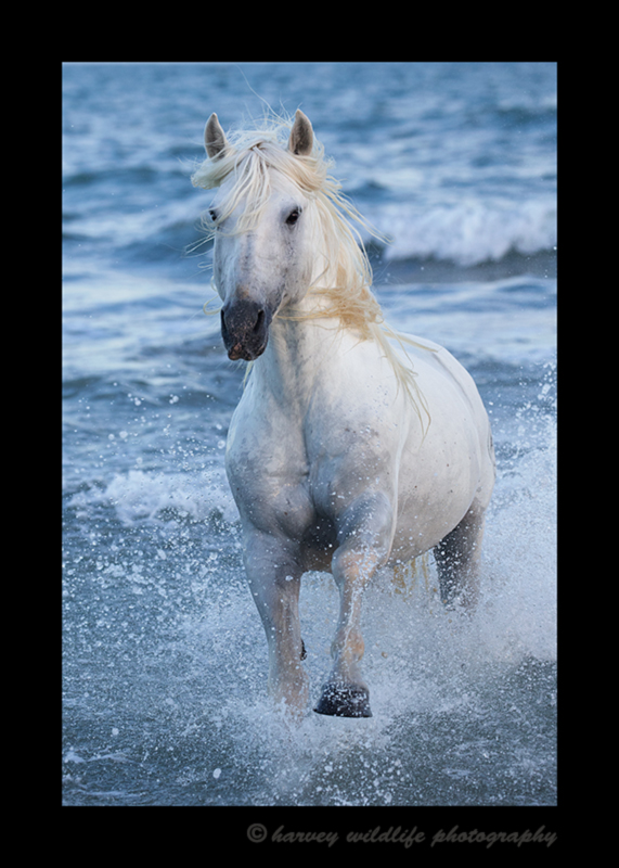 Picture of a Camargue stallion running out of the Mediterranean sea in Southern France.