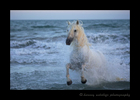 Picture of a Camargue stallion running out of the mediterranean sea. Photo taken in Southern France.