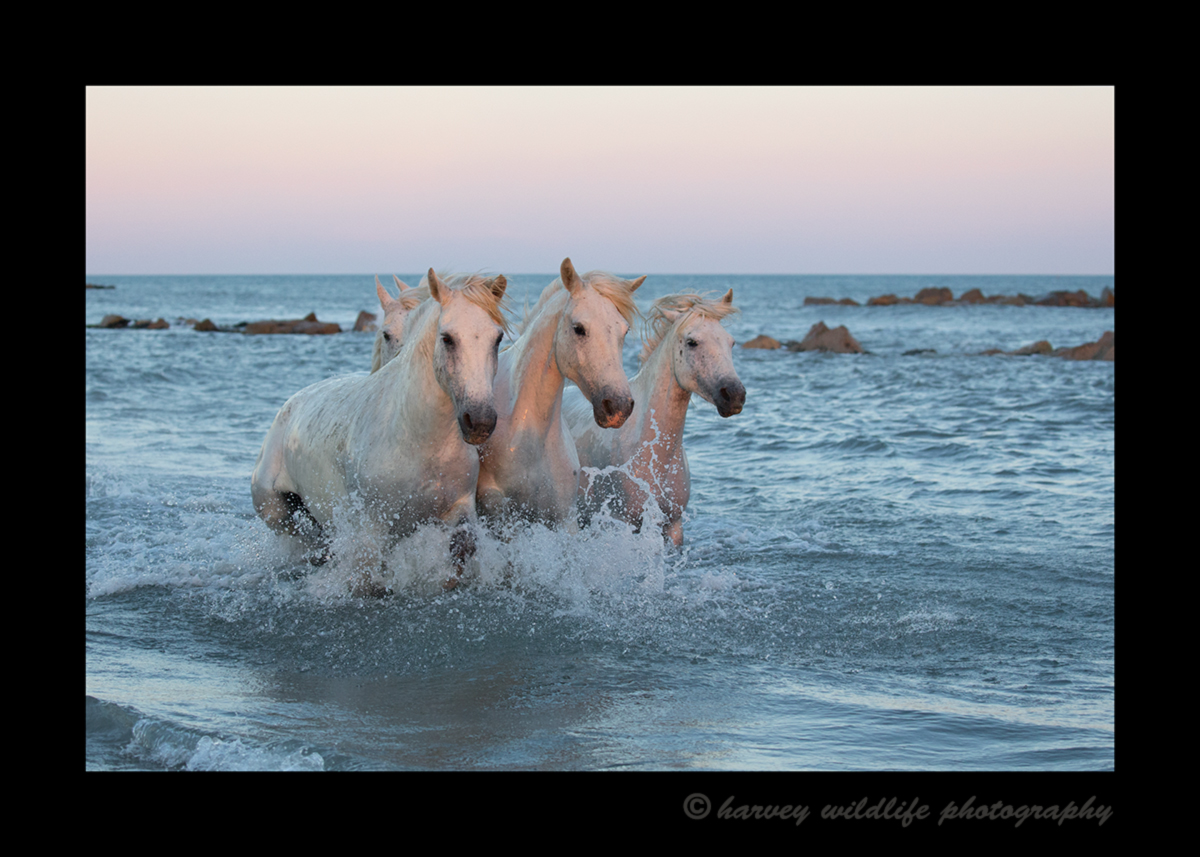 Picture of Camargue horses in the Mediterranean sea at sunset. Photo by Greg of Harvey Wildlife Photography.