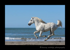 Camargue horse running along the Mediterranean beach in Southern France.