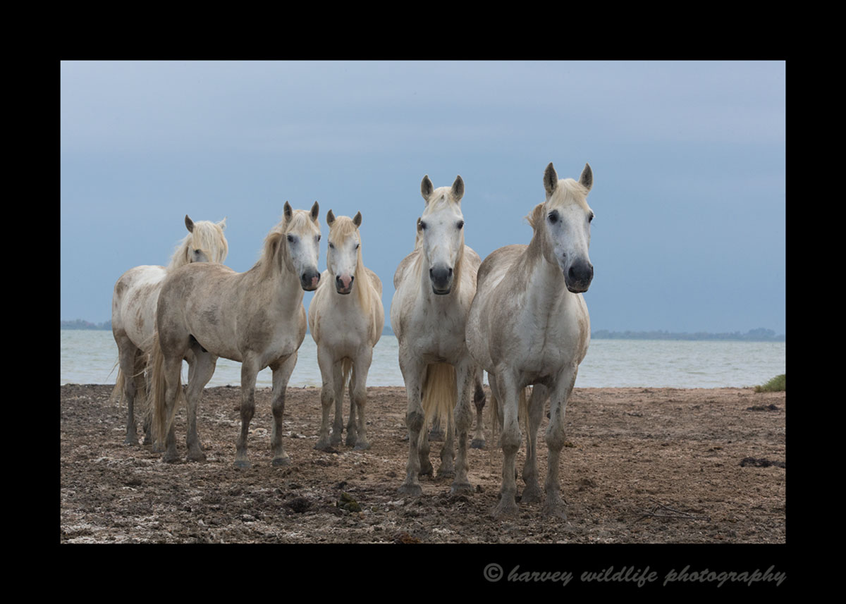 Photo of five Camargue horses in a delta in Southern France.