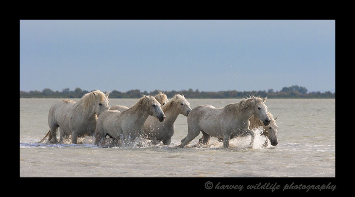 Photograph of a camargue horse herd in the delta of the mediterranean in Southern France.